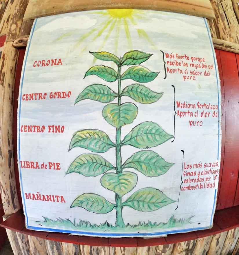 Küba purosu - yaprak tipleri